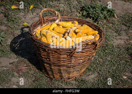 Basket full of corn cobs  in the farm - Stock Photo