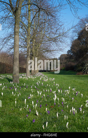 Crocuses in the gardens in winter in Regents park London England - Stock Photo