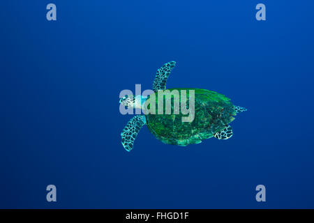 Hawksbill Sea Turtle, Eretmochelys imbricata, Red Sea, Ras Mohammed, Egypt - Stock Photo