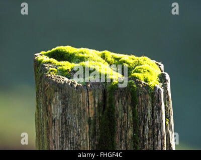moss covered top of an old worn wooden fencepost in bright sunshine - Stock Photo