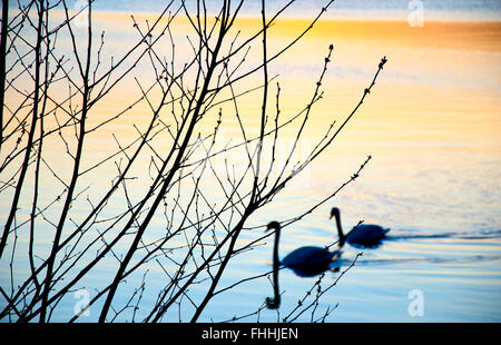 A couple of swans in the sunset over the lake - Stock Photo