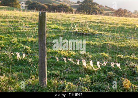 Sheep wool fibres caught on a barbed wire fence, Derbyshire, England, UK - Stock Photo