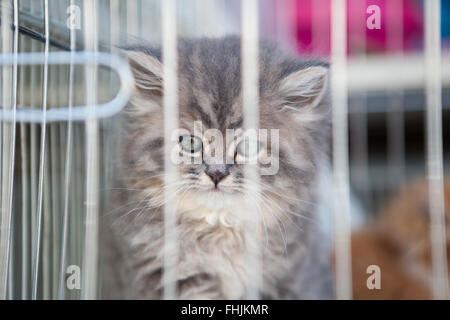 Kitten for sale in a cage at the Pet Souq, Souq Waqif, Doha, Qatar - Stock Photo