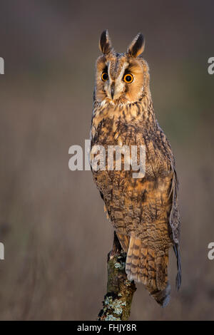Long-eared Owl - Stock Photo