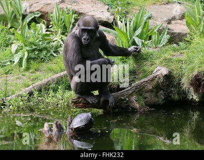 Western lowland gorilla at the water's edge, engrossed in observing a turtle - Stock Photo