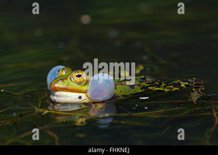Edible frog / green frog (Pelophylax kl. esculentus / Rana kl. esculenta) male floating in pond showing inflated - Stock Photo