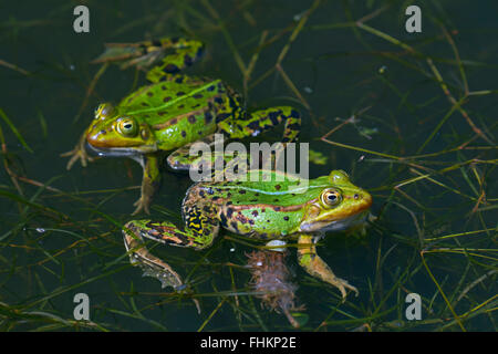 Two edible frogs / green frog (Pelophylax kl. esculentus / Rana kl. esculenta) floating in pond in the mating season - Stock Photo