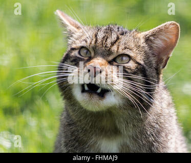 Scottish wild cat head shot with large lower teeth showing. Waiting for keeper to throw some chicks for feeding - Stock Photo