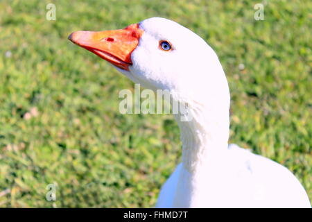 Close up of a white Emden goose - Stock Photo