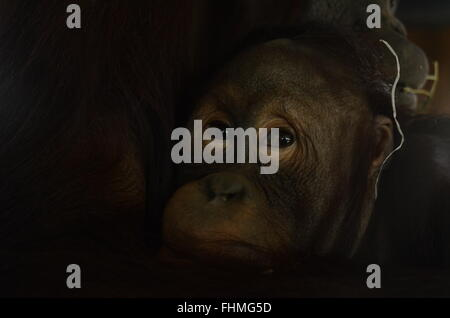 Madrid, Spain. 25th Feb, 2016. The orphan baby bornean orangutan Boo pictured in his enclosure at Madrid zoo. © - Stock Photo