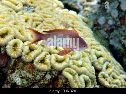 Male scalefin or lyretail anthias, Pseudanthias squamipinnis, and coral reef, Eilat, Israel, Red Sea - Stock Photo
