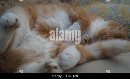 Cat stretched out on back asleep on the sofa with tail over face - Stock Photo
