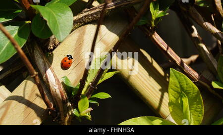 Ladybird on fence in amongst green plants - Stock Photo