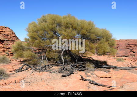 Acacia on top of King's Canyon, Northern Territory, Australia - Stock Photo