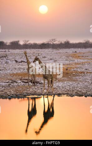 Namibia, Etosha National Park, giraffes at a waterhole at sunset - Stock Photo
