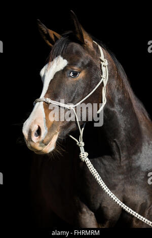 Paint Horse, bay horse, with a rope halter, portrait - Stock Photo