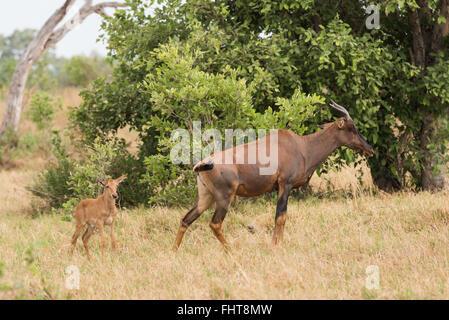 Tsessebe (Damaliscus lunatus) mom and calf, Chobe National Park, Botswana - Stock Photo
