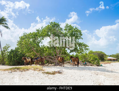 Horses tethered under a tree in Dickenson Bay, north Antigua, between tourist beach rides and horseback treks - Stock Photo