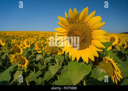 Healthy big sunflower heads in full bloom on a clear sunny day. - Stock Photo