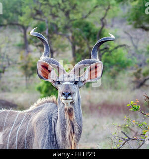Greater kudu ; Specie Tragelaphus strepsiceros family of bovidae Kruger national park, South Africa - Stock Photo