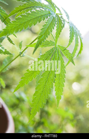 Young cannabis plant. - Stock Photo