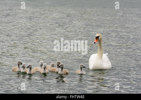Mother swan with nine baby swans in Bedfordshire, England - Stock Photo