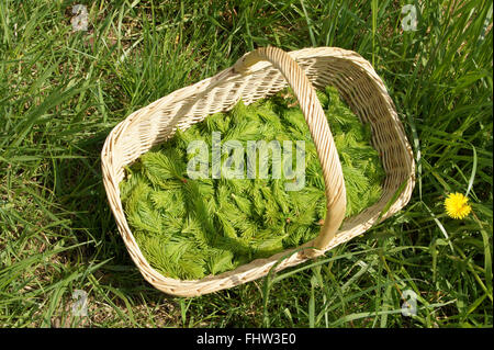 Food made of spruce-leaves - Stock Photo