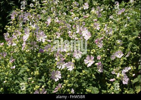 Lavatera thuringiaca, Garden tree-mallow - Stock Photo