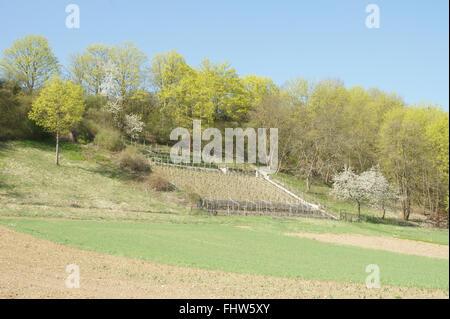 Vitis vinifera, Vine yard - Stock Photo