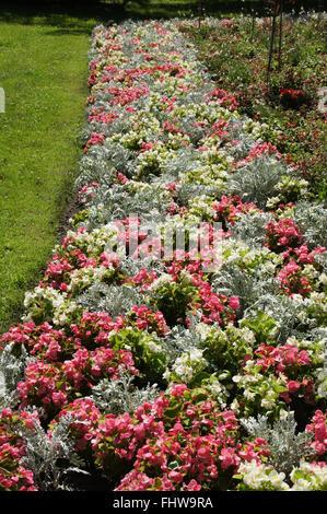 Begonia semperflorens - Stock Photo