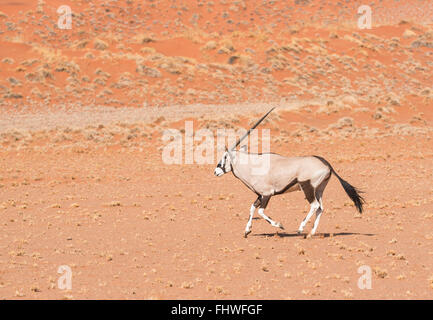 Gemsbok running with a sand dune in the background - Stock Photo