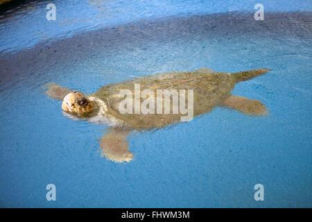 Loggerhead Turtle in the Tamar tank, Open Museum of the Marine Turtle, Praia do Forte - Stock Photo