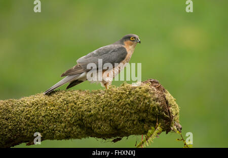 Eurasian Sparrowhawk adult male perched on mossy branch - Stock Photo