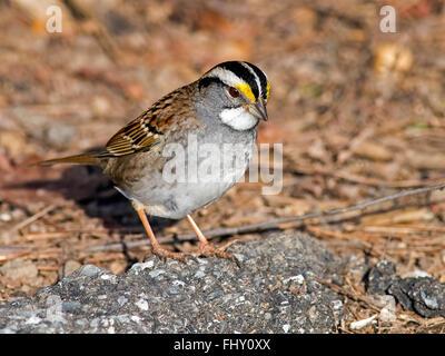 White-throated Sparrow - Stock Photo