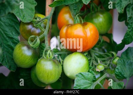 Tomaten - spaetsommerlicher Garten, Berlin. - Stock Photo