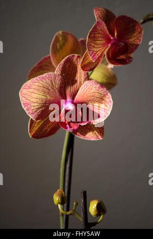 Orchidee. - Stock Photo