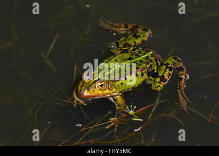 Edible frog / common water frog / green frog (Pelophylax kl. esculentus / Rana kl. esculenta) floating in pond - Stock Photo