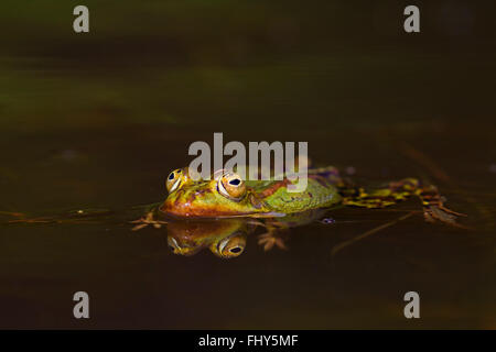 Edible frog / common water frog / green frog (Pelophylax kl. esculentus / Rana kl. esculenta) floating in pond - Stock Photo
