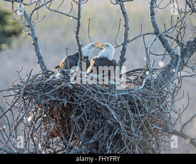 Bald Eagles on the Nest in Southcentral Alaska - Stock Photo