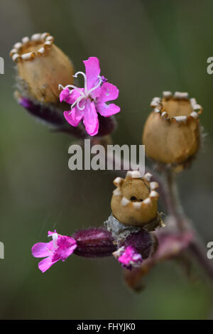 Red campion (Silene dioica). A delicate flower in the family Caryophyllaceae, seen from a low angle amongst grass - Stock Photo