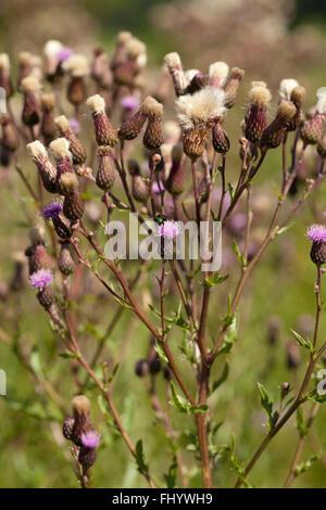 thistle blossom (Cirsium arvense) on blurred background - Stock Photo