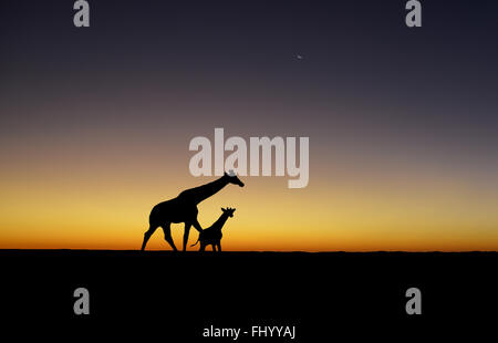 A Giraffe mother and baby are silhouetted at sunset Stock Photo