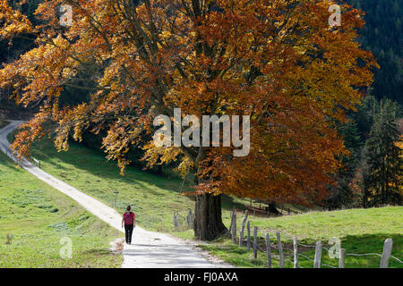 Hiker in front of beech tree - Stock Photo