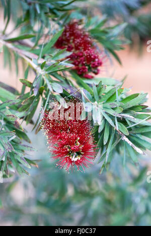 Callistemon viminalis 'Little John'. Weeping Bottlebrush flower growing in a protected environment. - Stock Photo