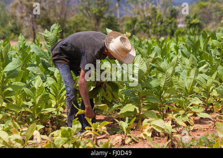 Daily life in Cuba - Hanging tobacco leaves out to dry at Vinales, Pinar del Rio Province, Cuba, West Indies - Stock Photo
