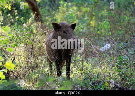 Eurasian Wild Boar, (Sus affinis), Sri Lankan Wild Boar, Indian Wild Boar, Yala Nationalpark, Sri Lanka, Asia / - Stock Photo