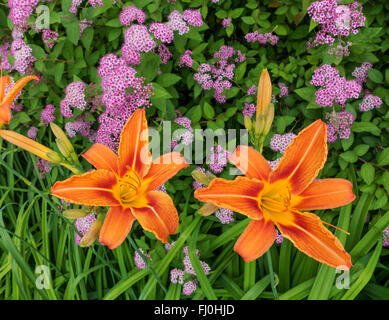 Two orange blossoms of the species Orange Daylily. Taken in a flowerbed from above. - Stock Photo