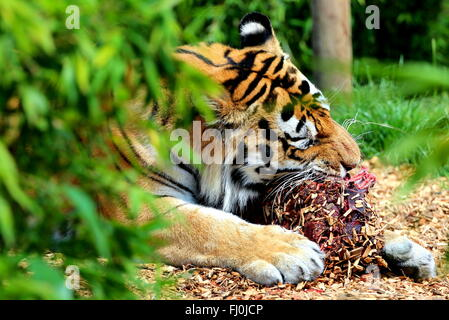 A tiger eating meat in a zoo. - Stock Photo