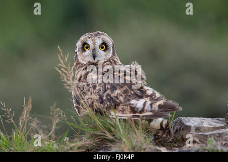 Short Eared Owl; Asio flammeus Wales; UK - Stock Photo