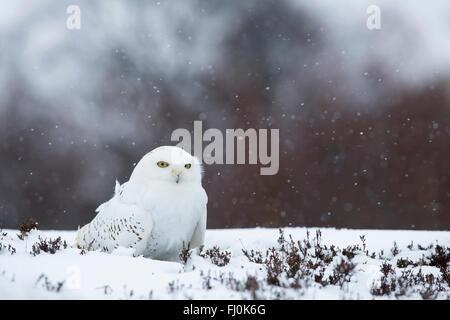 Snowy owl; Bubo scandiacus Single in Snow Scotland; UK - Stock Photo